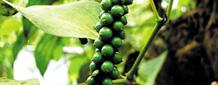 맛과 향을 한껏 높이는 검은 열매… 옛날엔 금만큼 비쌌어요