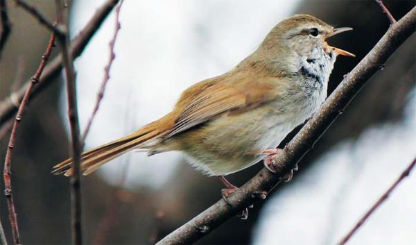 휘파람새가 나뭇가지에 앉아 울음소리를 내고 있어요. 휘파람새의 울음소리는 사는 곳에 따라 조금씩 달라져요.