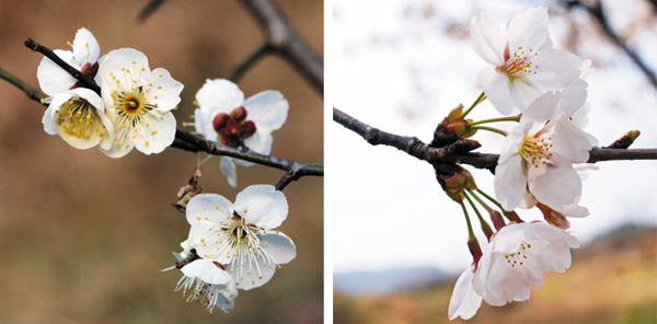 매화와 벚꽃.