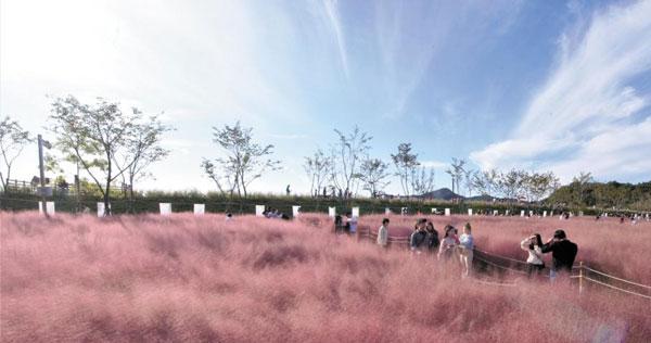 지난달 나들이객들이 경남 함안 악양생태공원에서 분홍빛 핑크뮬리 사이를 오가고 있어요.